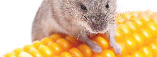 OGM : une étude révèle la toxicité d'un maïs transgénique sur les rats