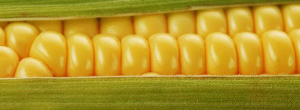 Peut-on interdire le maïs OGM NK 603 ?