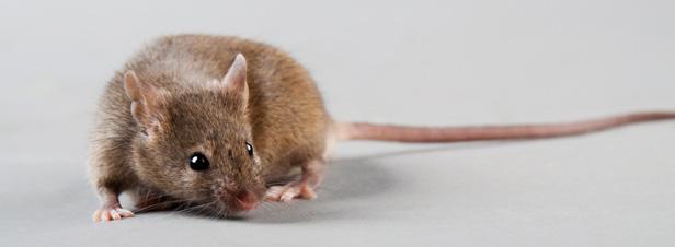 Etude Séralini sur les OGM : une qualité scientifique insuffisante selon l'Efsa