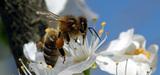 Pesticides néonicotinoïdes : un risque élevé pour les abeilles