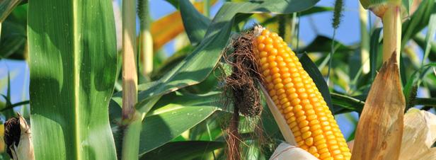 OGM : l'Efsa refuse de conclure sur l'innocuité sanitaire d'un maïs transgénique, faute d'un dossier complet
