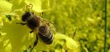 Pesticide : l'Efsa pointe les risques du fipronil pour les abeilles