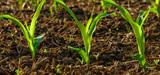 OGM : le maïs MON810 bientôt dans les champs de France ?