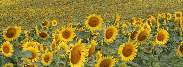Les variétés résistantes aux herbicides, OGM ou pas ?