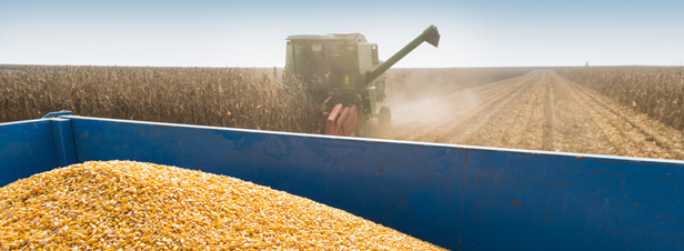 OGM : la culture du maïs 1507 bientôt autorisée en Europe ?