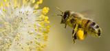 Les abeilles sacrifiées sur l'autel de l'agriculture intensive