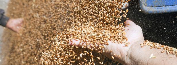 Lutte contre la contrefaçon : quid des semences de ferme ?