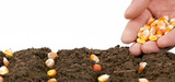 OGM : un sénateur demande l'interdiction d'urgence des cultures de maïs