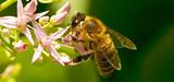 Causes de stress chez les abeilles : l'Efsa pointe les lacunes scientifiques