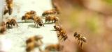 Les abeilles meurent plus en France pendant la saison apicole que dans le reste de l'Europe