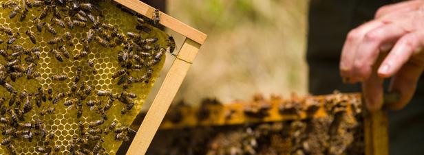 """L'usage des pesticides """"mention abeilles"""" bientôt restreint durant la période de floraison"""