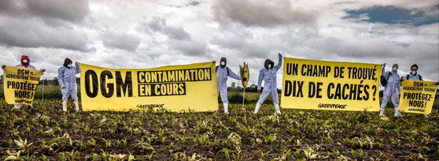 Destructions de cultures de maïs OGM sur fond de guérilla judiciaire