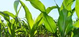 OGM : le Sénat adopte définitivement la proposition de loi interdisant la culture des maïs transgéniques