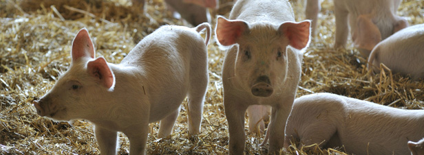 La paille, alternative pour réduire les impacts environnementaux de l'élevage porcin