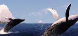 La chasse scientifique du Japon sous la loupe de la Commission baleinière internationale
