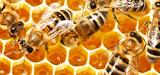 Pesticides contre abeilles : le combat continue sur tous les fronts