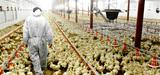 Les élevages de volailles bientôt soumis au régime d'autorisation simplifiée