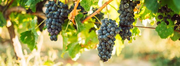 Les consommateurs boostent le verdissement de la vigne