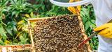 Le plan apicole durable est reconduit jusqu'à 2017
