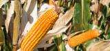 OGM : les impacts du MON 810 sur les insectes en Europe sont-ils surestimés ?