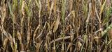 La sécheresse des sols superficiels est jugée préoccupante