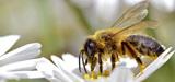 Facteurs de stress des abeilles : les pesticides et les infections prédominent