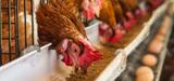 Le décret simplifiant la procédure d'autorisation des élevages de volailles est publié