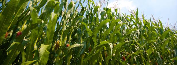 OGM : le Conseil d'Etat annule l'arrêté qui interdit le maïs MON 810
