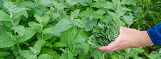 Préparations naturelles : une centaine de plantes médicinales autorisées