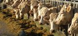 Les élevages de bovins bientôt soumis à un régime d'autorisation simplifiée