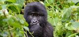 Quatre espèces de grands singes sont menacées d'extinction