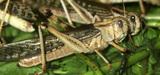 Le coût lié aux invasions d'insectes va considérablement augmenter