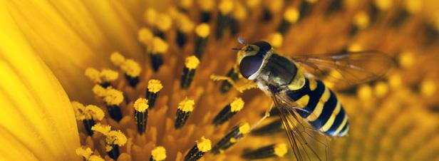 La production végétale française dépendant de l'action des pollinisateurs atteindrait 5 milliards
