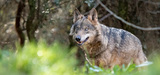 Loup : les nouvelles autorisations de tirs pourraient menacer la survie de l'espèce en France