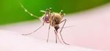 Le Haut Conseil des biotechnologies n'exclut pas le recours à des moustiques génétiquement modifiés