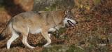 Le nouveau gouvernement confronté à la question du loup dans les territoires
