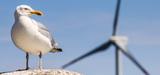La LPO publie une étude nationale sur la mortalité des oiseaux due aux éoliennes