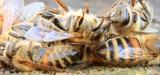 Néonicotinoïdes et épandage de pesticides : premiers désaccords au sein du gouvernement