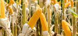 La Commission européenne autorise de nouveaux OGM