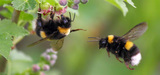 Néonicotinoïdes et pollinisateurs : deux nouvelles études prouvent leurs effets néfastes