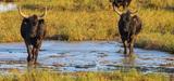 Elevages extensifs et zones humides : un système gagnant-gagnant ?