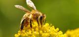 Sulfoxaflor : le juge des référés suspend l'autorisation des pesticides Closer et Transform