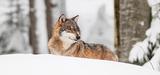 Le nouveau plan loup pourrait conduire à abattre 10% de la population chaque année