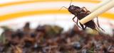 Une nouvelle réglementation encadre les risques présentés par les élevages d'insectes