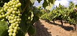 L'irrigation au secours des vignes