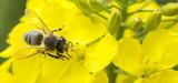 Néonicotinoïdes : l'agence européenne pour la sécurité des aliments confirme le risque pour les abeilles