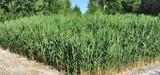 Les filtres plantés de roseaux pour le traitement des eaux pluviales se développent