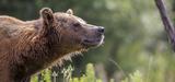 Le nouveau plan ours vise à maintenir une population d'une cinquantaine d'individus