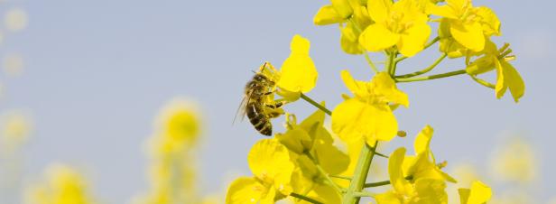 Abeilles : l'Anses recommande de durcir les règles pour les traitements phytosanitaires