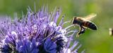 Abeilles : l'UE est dans l'impasse pour durcir les tests d'homologation des pesticides
